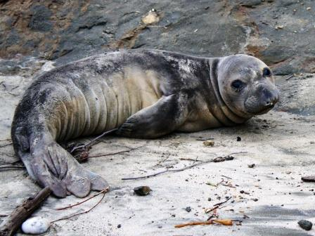 Sad-looking seal on a beach.
