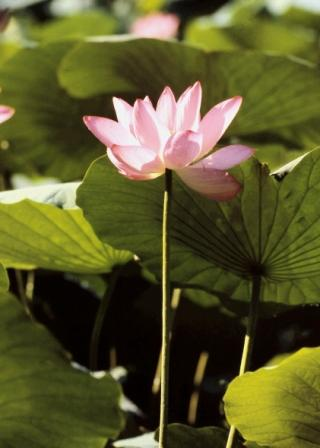 lotus-flower-morguefile-web