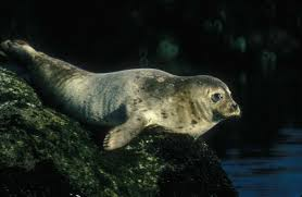 harbour-seal