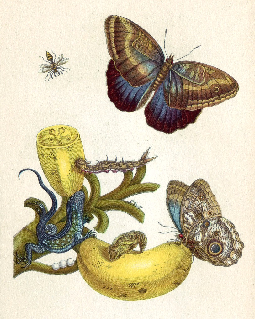 By Maria Sibylla Merian (1647-1717) [Public domain], via Wikimedia Commons