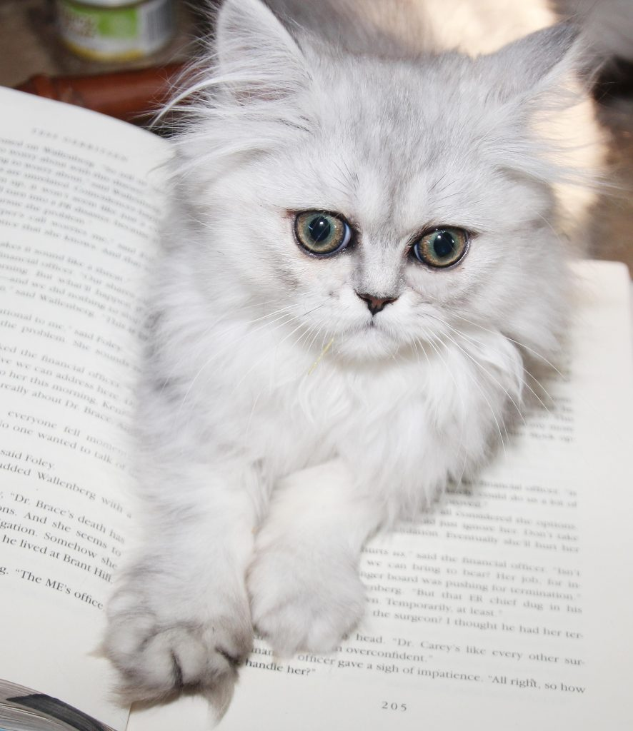 persian kitten book