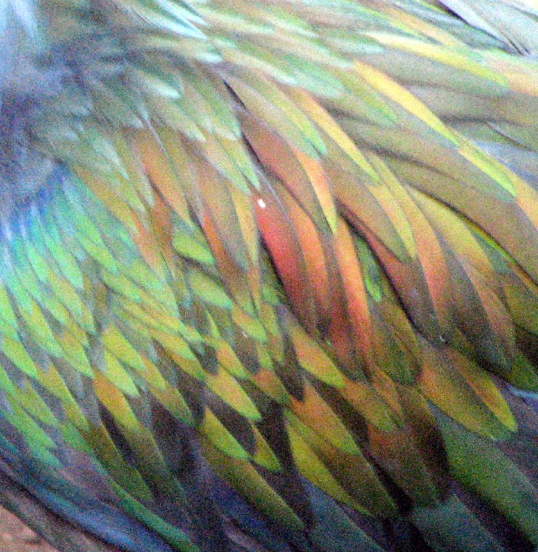 Feathers_of_Nicobar_Pigeon