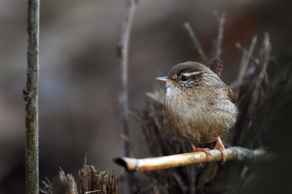 a wren on a branch