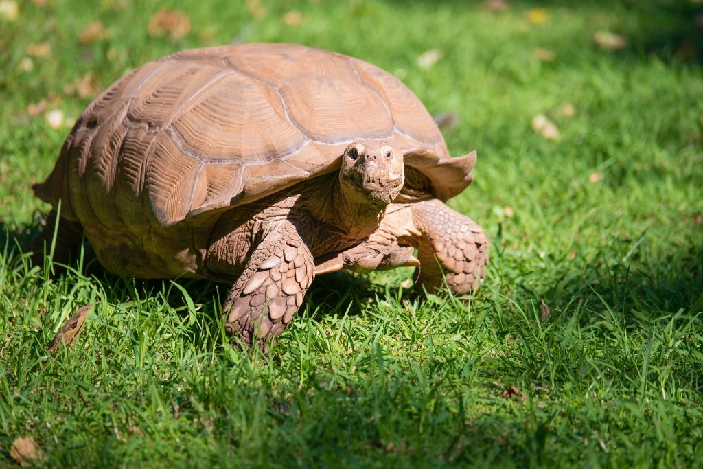 A tortoise walks in the sunshine.