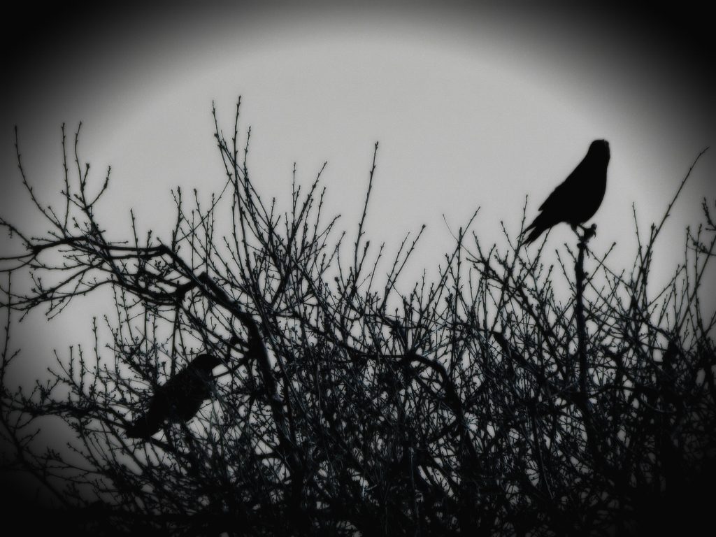 Two crows in a tree beginning to bud. Image by K.M. Lockwood CC