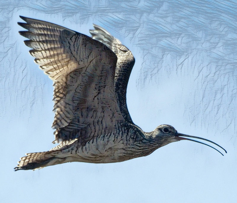 A curlew flying with its beak open.