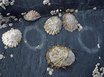 Image of limpets on wet stone