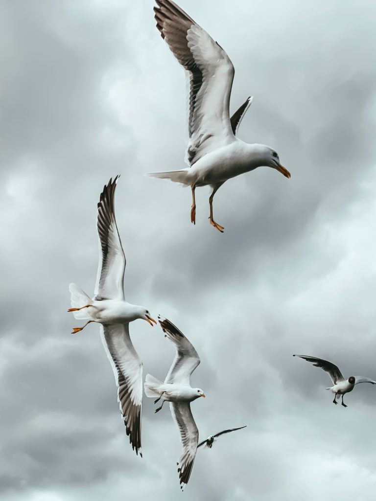 sea gulls flying