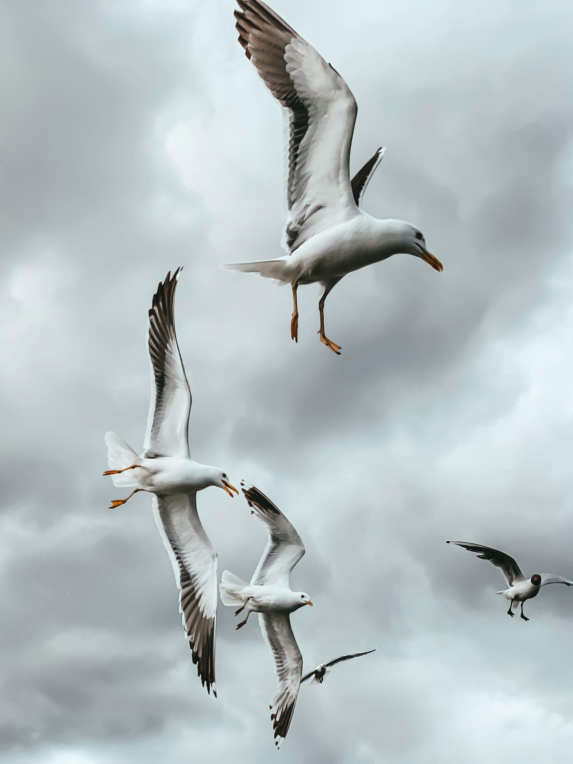 sea gulls flying