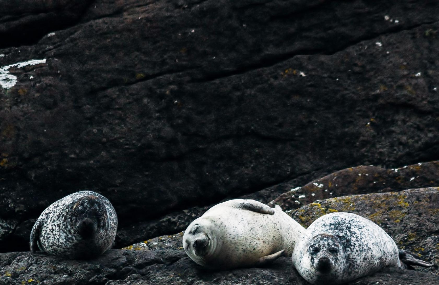 Three seals bask on rocks.