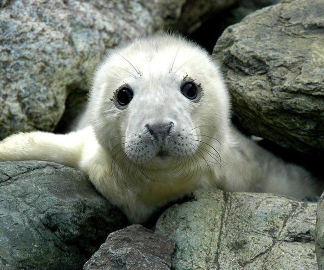 grey seal up among rocks