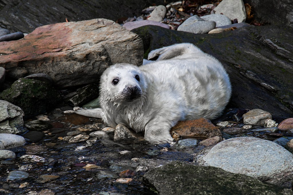 Grey seal pup on a lookout for its parents
